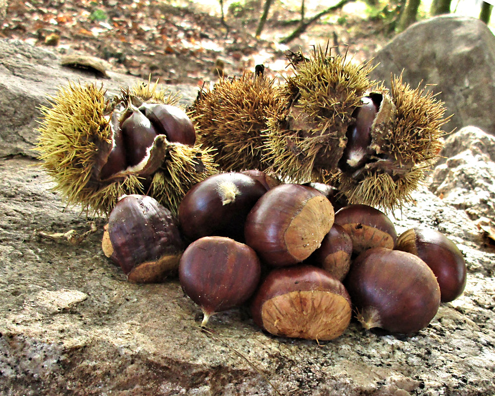 Chestnuts in Spain